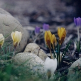 crocus blooming in spring