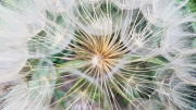dandelion at seed stage close up