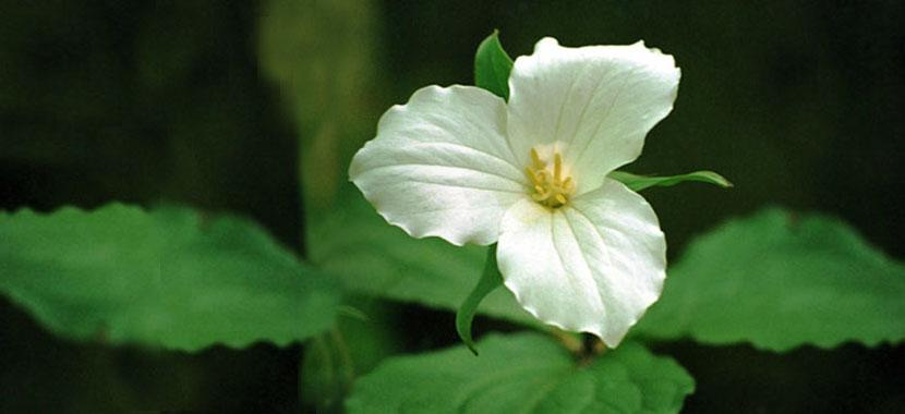 Photo of white lily