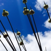 wild garlic in seed against a blue sky
